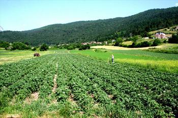 Potato fields in Rotzo