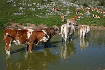 Vacche in un pozza d'alpeggio