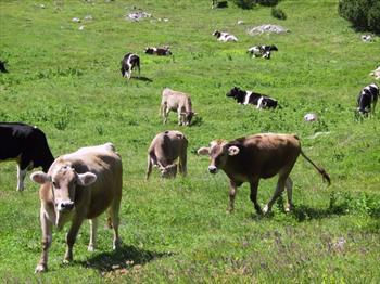 Vacche al pascolo in alta montagna