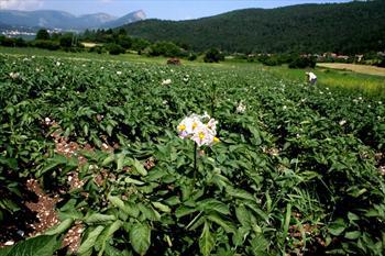 Piante di patate in fiore a Rotzo