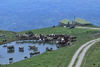 Una malga con vacche in alpeggio
